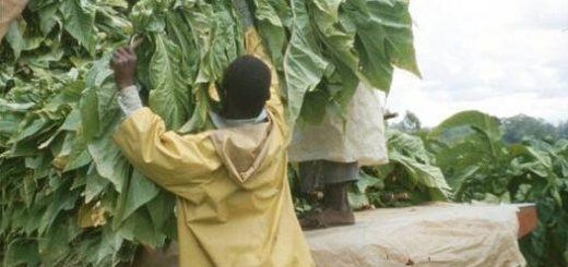 Zimbabwe Tobacco harvest