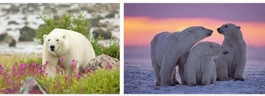 Polar Bears in Canada